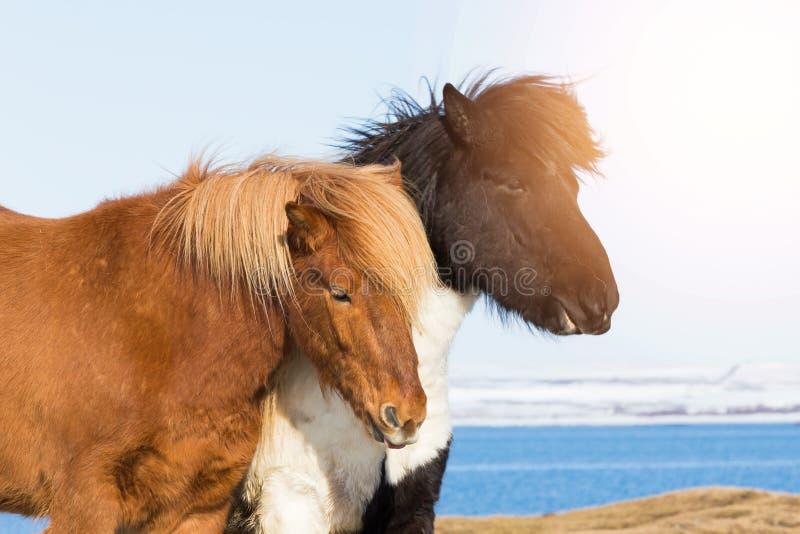 Cavallino islandese, animale costante dei cavalli dell'Islanda fotografia stock libera da diritti