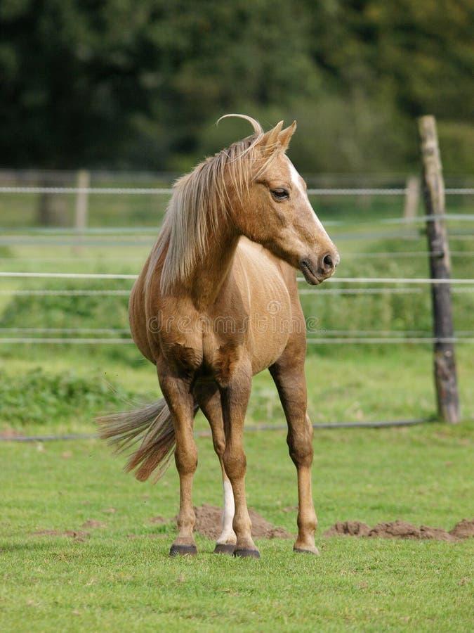 Cavallino nel campo immagine stock libera da diritti
