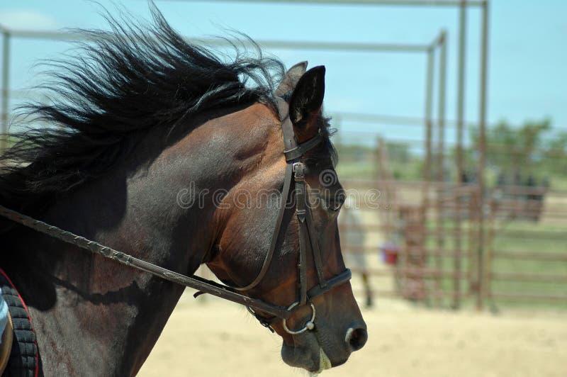 Cavallino nel movimento immagini stock libere da diritti