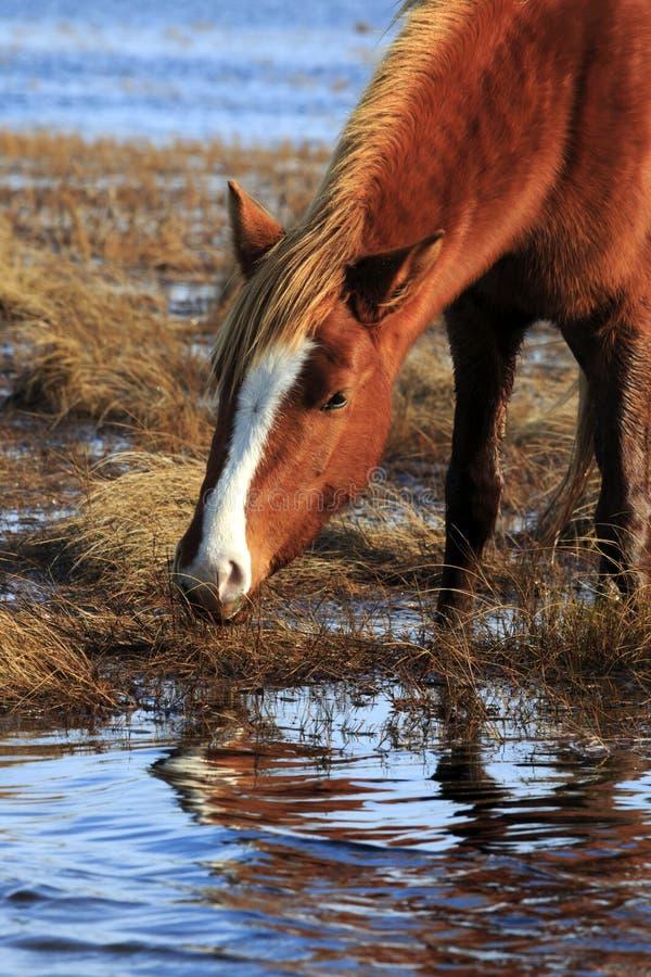 Cavallino selvaggio immagine stock