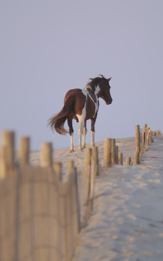 Cavallino selvaggio dell'isola di Assateague fotografie stock libere da diritti