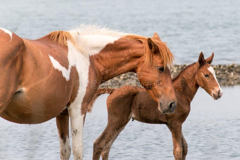 Cavallino selvaggio di Chincoteague immagini stock libere da diritti