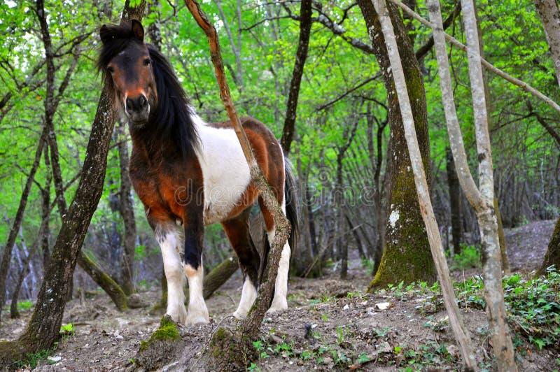 Cavallino selvaggio in natura   fotografie stock