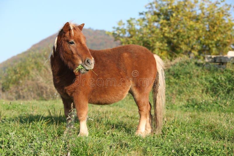 Cavallino splendido del minishetland in autunno fotografia stock libera da diritti