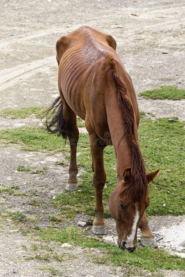 Cavallo affamato immagini stock libere da diritti