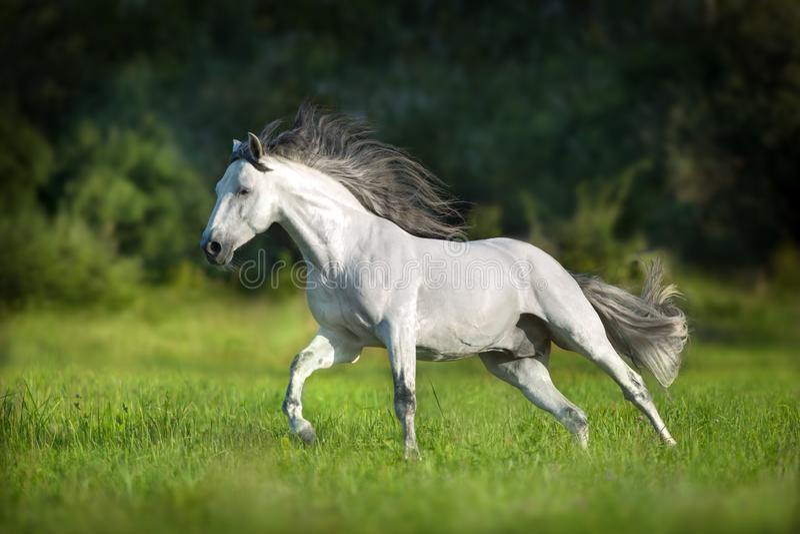 Cavallo andaluso bianco fotografie stock libere da diritti