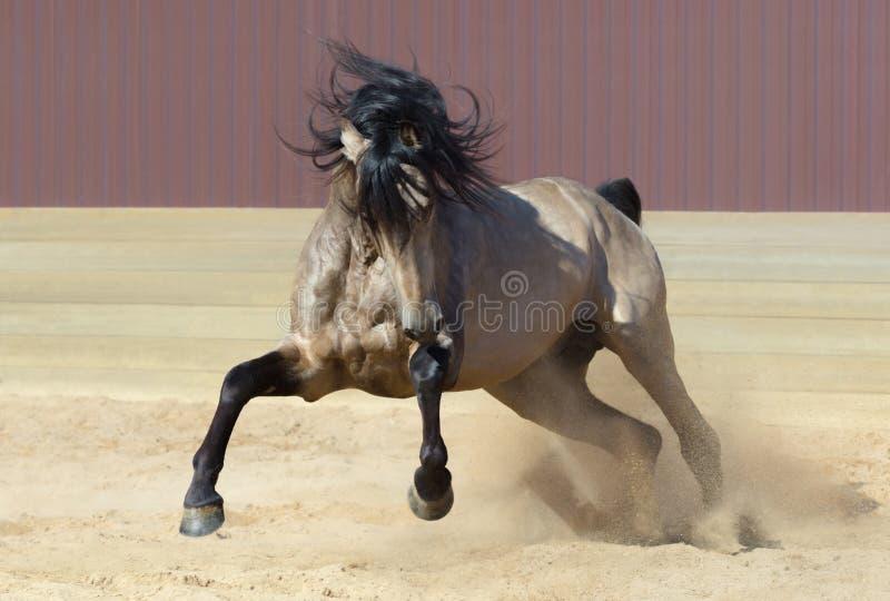 Cavallo andaluso che gioca sulla sabbia immagine stock libera da diritti