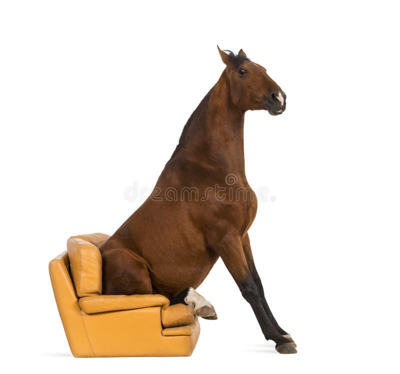 Cavallo andaluso che si siede su una poltrona immagine stock
