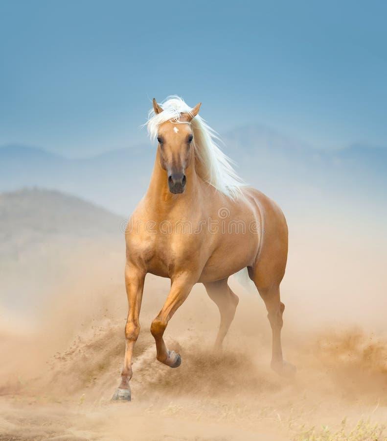 Cavallo andaluso del palomino che corre nel deserto immagini stock