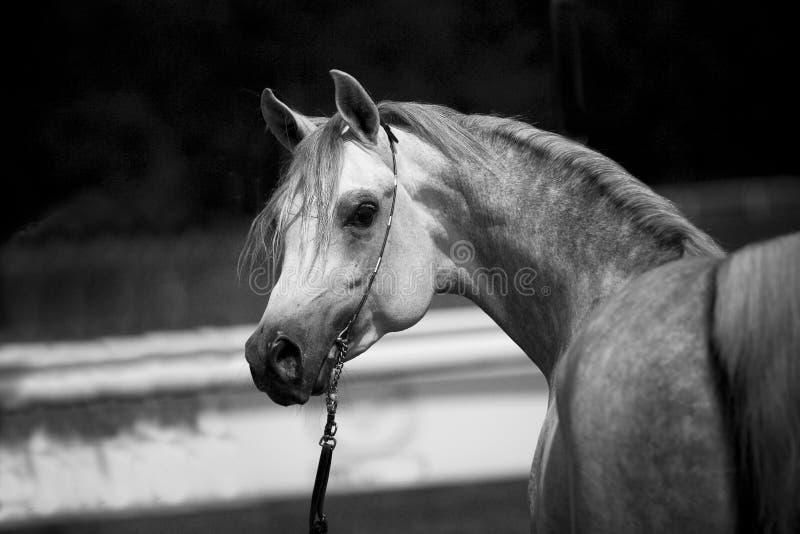 Cavallo arabo immagine stock