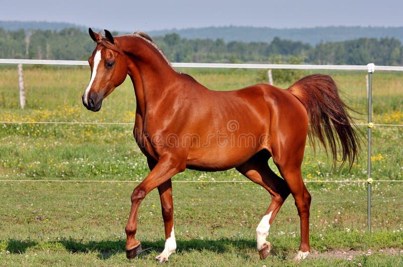 Cavallo arabo fotografie stock