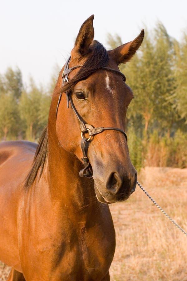 Download Cavallo arabo immagine stock. Immagine di equestrian, muso - 7315017
