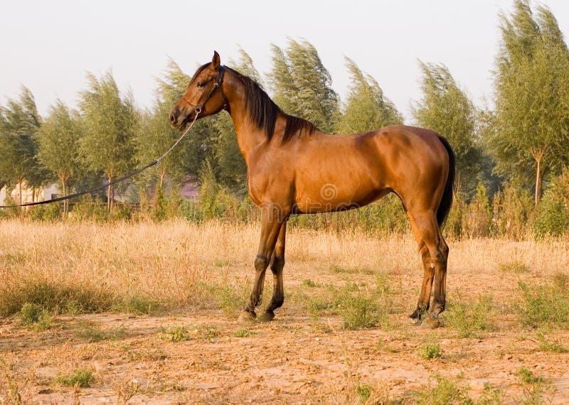 Download Cavallo arabo fotografia stock. Immagine di colt, ecosistema - 7315166