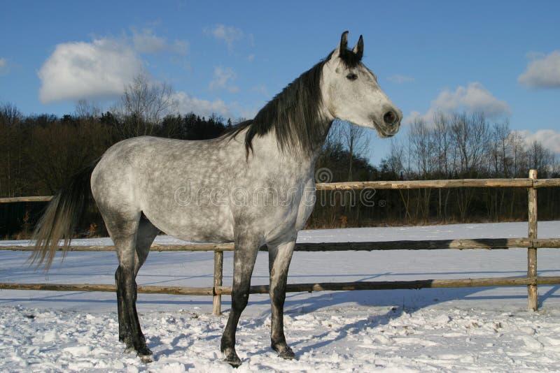 Cavallo arabo, Arabo di Shagya fotografia stock libera da diritti