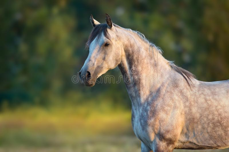 Cavallo arabo bianco fotografie stock libere da diritti