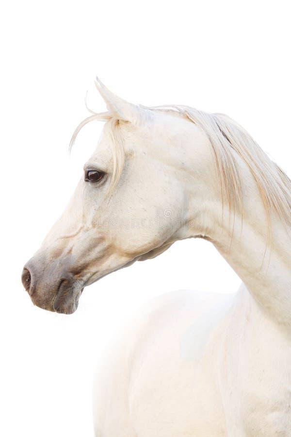 Cavallo arabo bianco fotografia stock libera da diritti