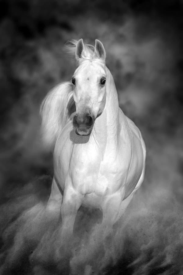 Cavallo arabo bianco in deserto fotografia stock