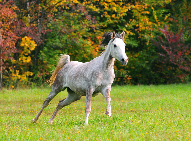 Cavallo arabo bianco nel campo di autunno immagine stock