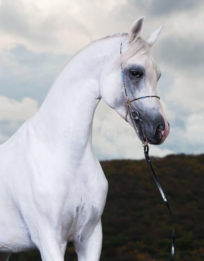 Cavallo arabo bianco sui precedenti scuri fotografia stock libera da diritti