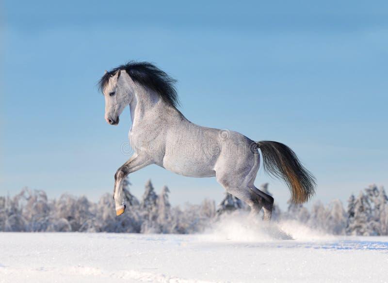 Cavallo arabo che galoppa in inverno fotografia stock libera da diritti