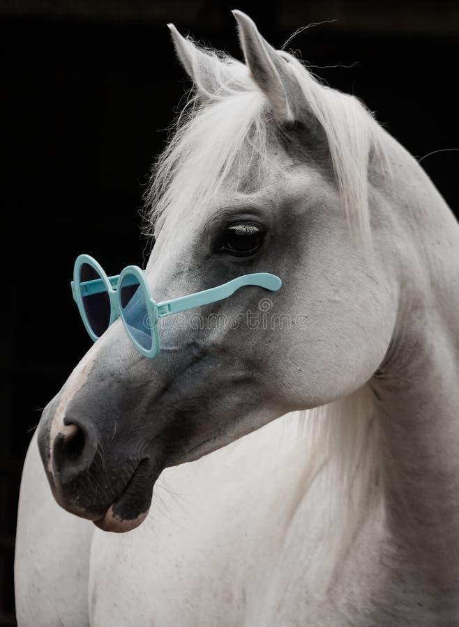 Cavallo arabo con i grandi occhiali da sole immagine stock