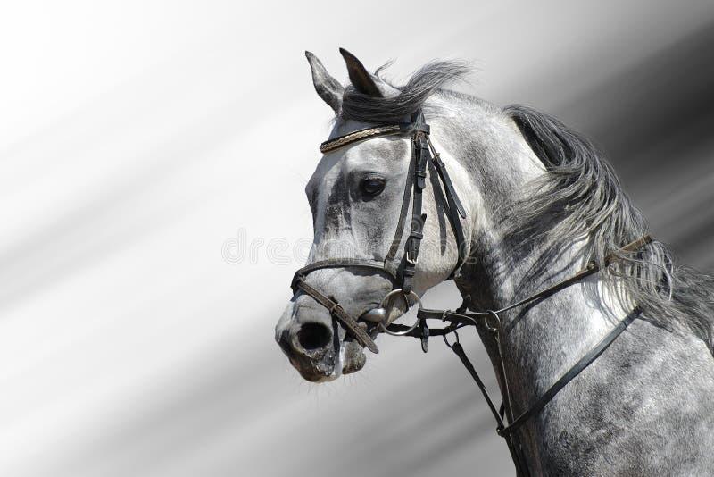 Download Cavallo Arabo Dapple-grigio Fotografia Stock - Immagine: 4072188