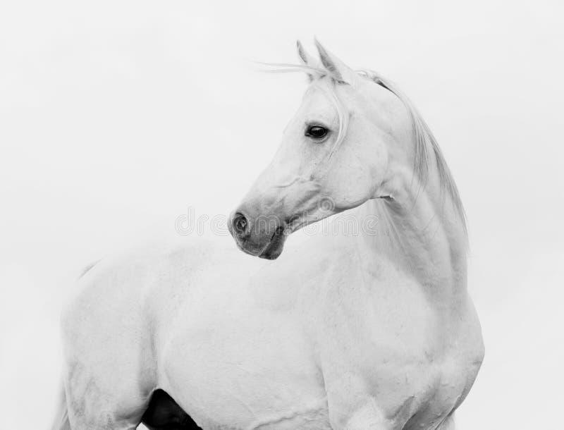 Cavallo arabo di Bw nell'alto tasto fotografie stock