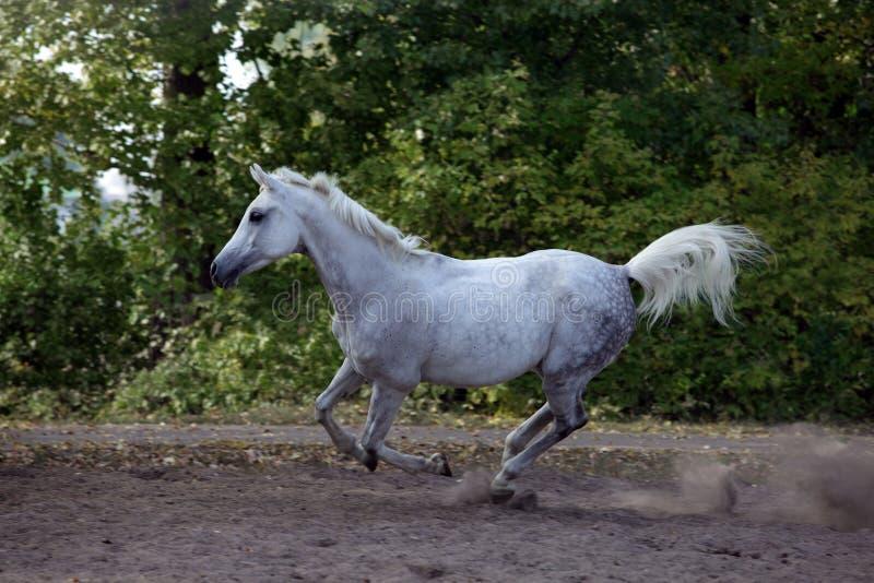 Cavallo arabo - galoppando sul recinto chiuso fotografie stock libere da diritti