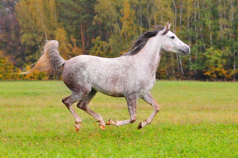 Cavallo arabo grigio che galoppa attraverso la foresta immagine stock libera da diritti