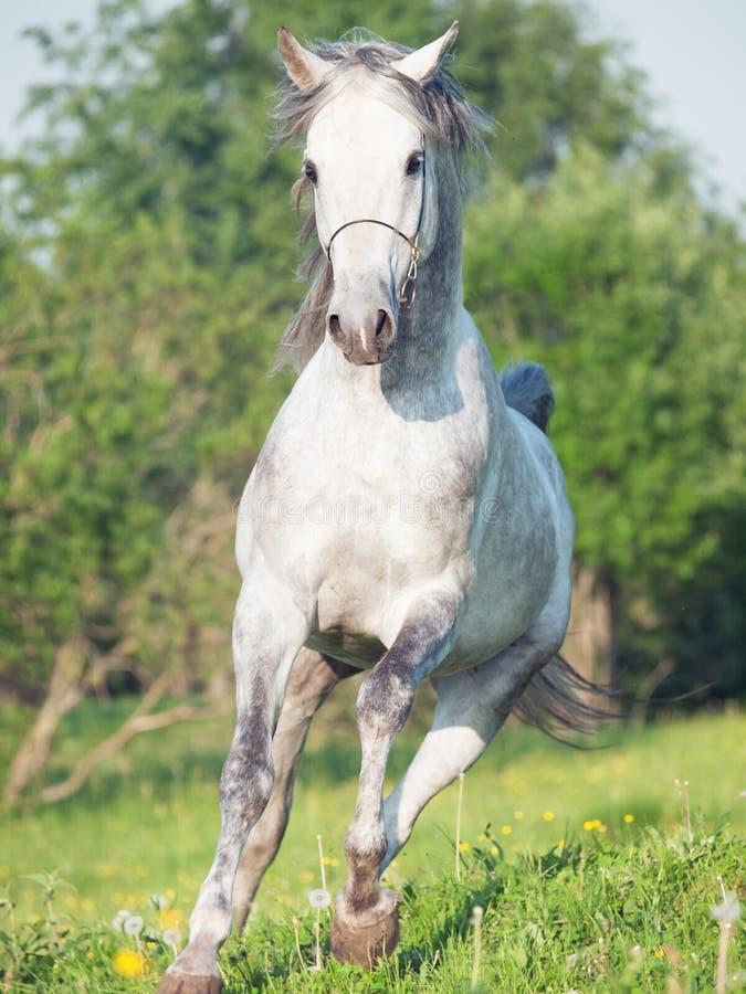 Cavallo arabo grigio corrente nel prato immagine stock libera da diritti