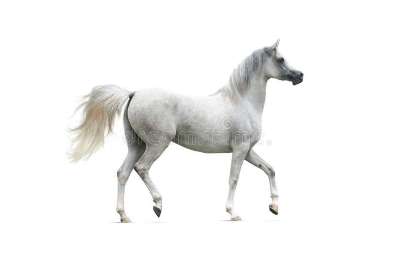 Cavallo arabo grigio isolato fotografie stock libere da diritti