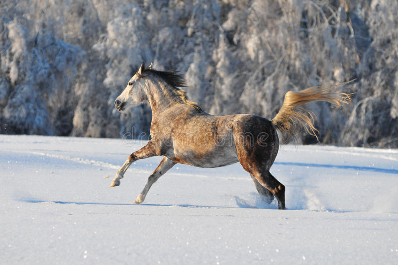 Cavallo arabo in inverno fotografie stock libere da diritti