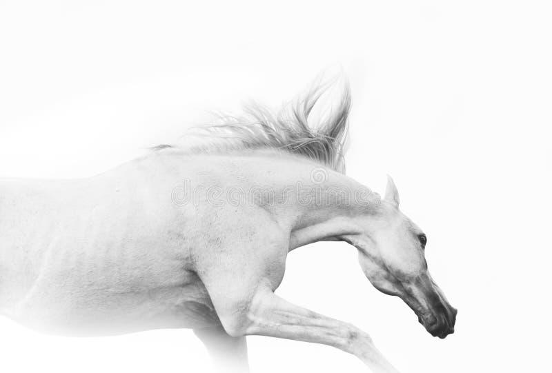 Cavallo arabo nell'alta chiave immagine stock libera da diritti