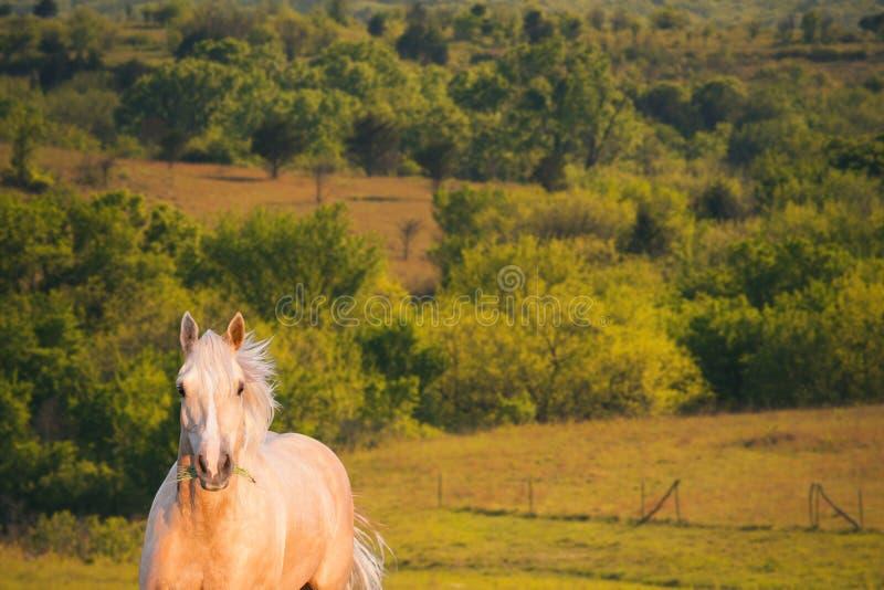 Cavallo attento del Palomino fotografie stock