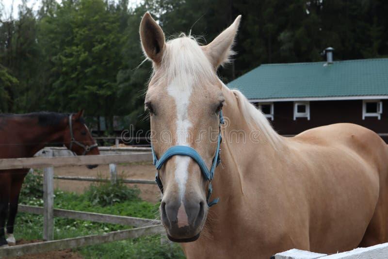 Cavallo beige con la criniera bianca sul ranch Ritratto di bello cavallo con la criniera dorata fotografie stock libere da diritti