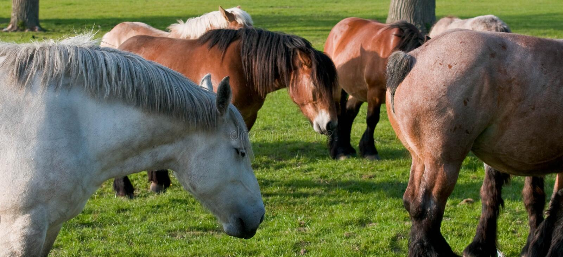 Cavallo belga fotografie stock libere da diritti