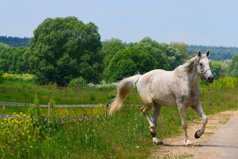 Download Cavallo bianco fotografia stock. Immagine di libertà, campo - 7324744