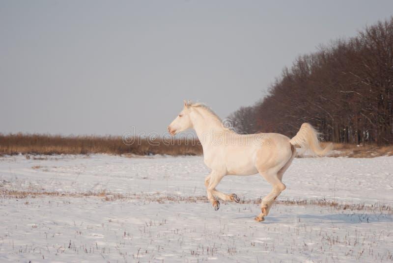 Cavallo bianco all'inverno fotografia stock libera da diritti