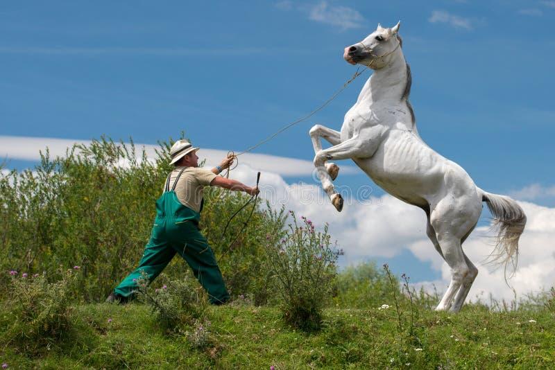 Cavallo bianco arabo puro il giorno di addestramento sul campo verde immagine stock libera da diritti