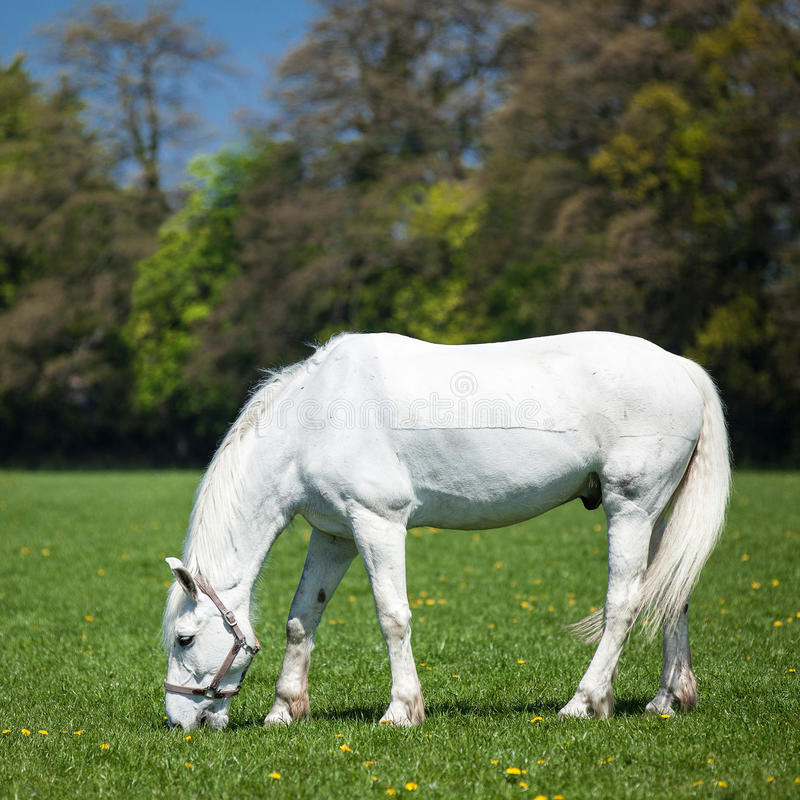 Cavallo bianco arabo in un campo verde immagini stock