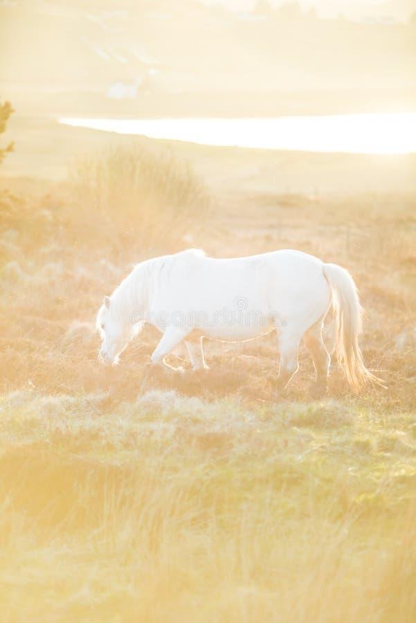 Cavallo bianco - bello stallone bianco che corre su un prato all'alba fotografia stock libera da diritti