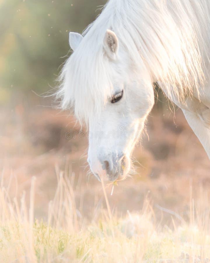Cavallo bianco - bello stallone bianco che corre su un prato all'alba immagini stock libere da diritti
