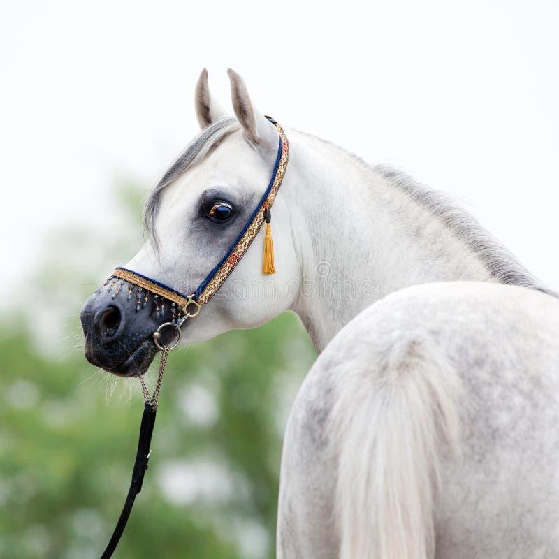 Cavallo bianco in capezza di manifestazione fotografie stock