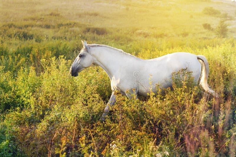 Cavallo bianco che cammina nell'erba immagine stock libera da diritti