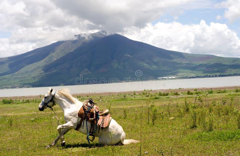 Cavallo bianco che knealing dopo un rotolo fotografia stock libera da diritti
