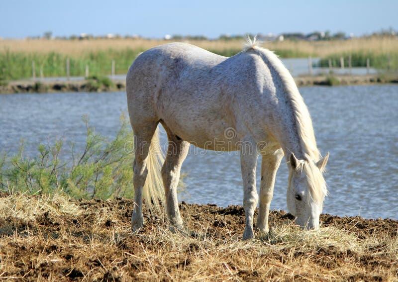 Download Cavallo Bianco Che Mangia, Camargue, Francia Fotografia Stock - Immagine di mane, farmland: 30825876