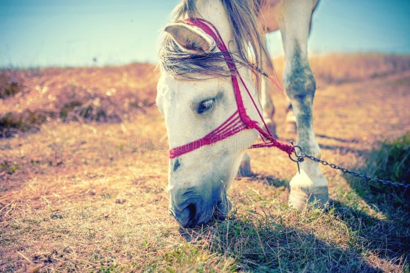 Cavallo bianco che mangia erba e fieno sul campo alla campagna fotografie stock
