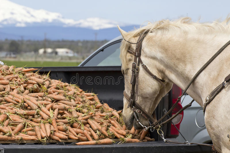 Cavallo bianco che mangia le carote dal letto di un camion fotografia stock libera da diritti