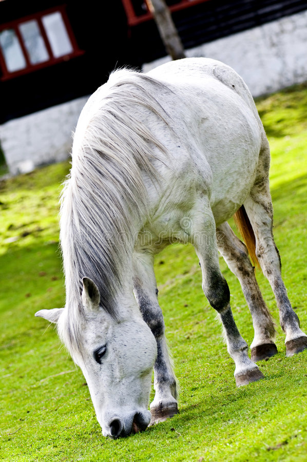 Cavallo bianco che pasce fotografia stock libera da diritti