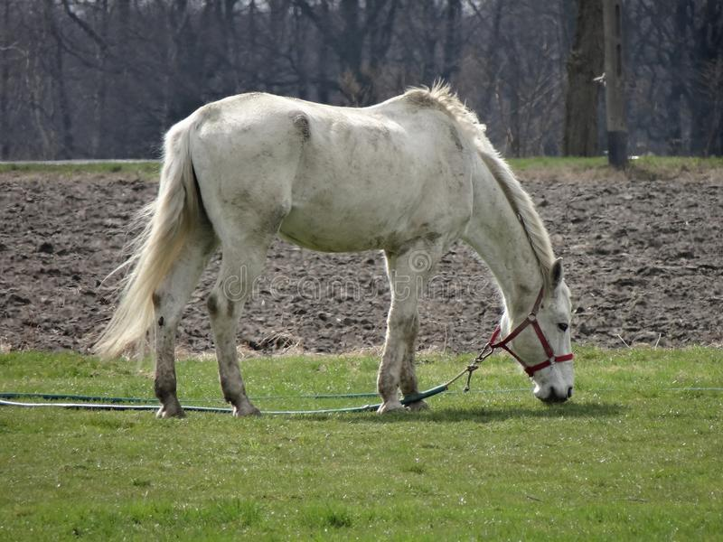 Cavallo bianco che pasce sull'erba verde fotografia stock libera da diritti